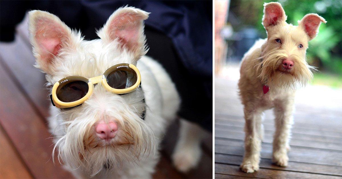 Albino dog that has to wear sunglasses and sun screen