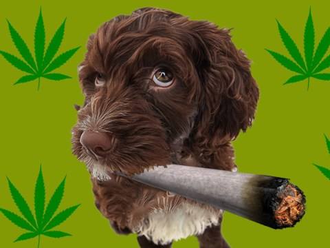 Weed can cure your dog's anxiety and make their joints feel better, vet claims