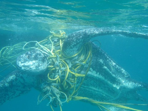 Over 1,000 turtles killed every year by plastic waste in the oceans