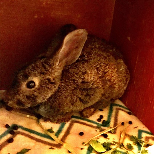 Rabbit rescued from California wildfire is recovering