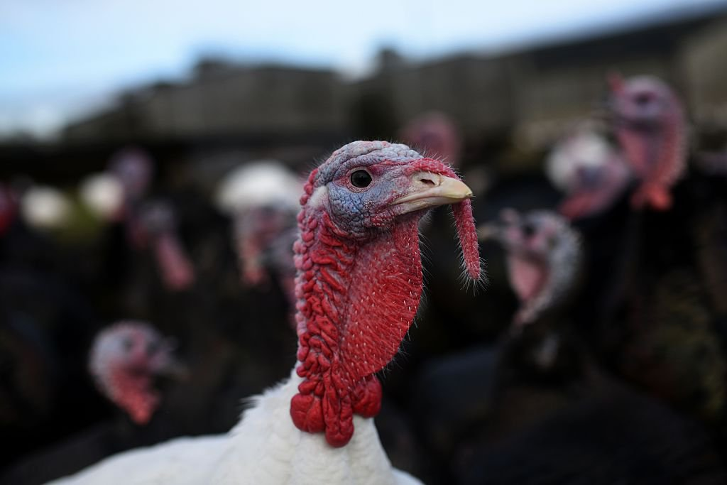 Bronze and white turkeys are reared on poultry farmers Tim & Lynne Lindley's 'Hostingley Farm Free Range' near Dewsbury, northern England, on November 23, 2016. The turkeys and geese are reared from day-old chicks until they are slaughtered, plucked, hung and prepared all on site, ready for Christmas. / AFP / Oli SCARFF (Photo credit should read OLI SCARFF/AFP/Getty Images)