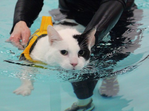 Elf the cat swims 40 lengths a week to cure his injured leg