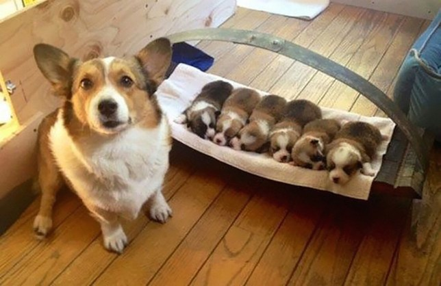 Cute little Corgi and her beauts little litter