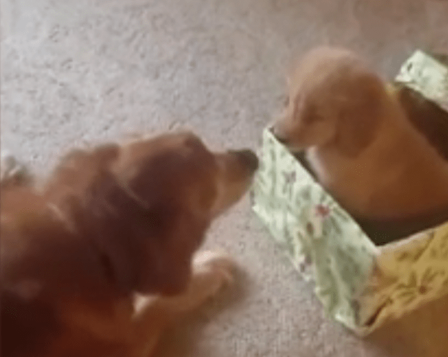 A Puppy For Christmas.Elderly Dog Can T Contain His Joy After Unwrapping A Puppy