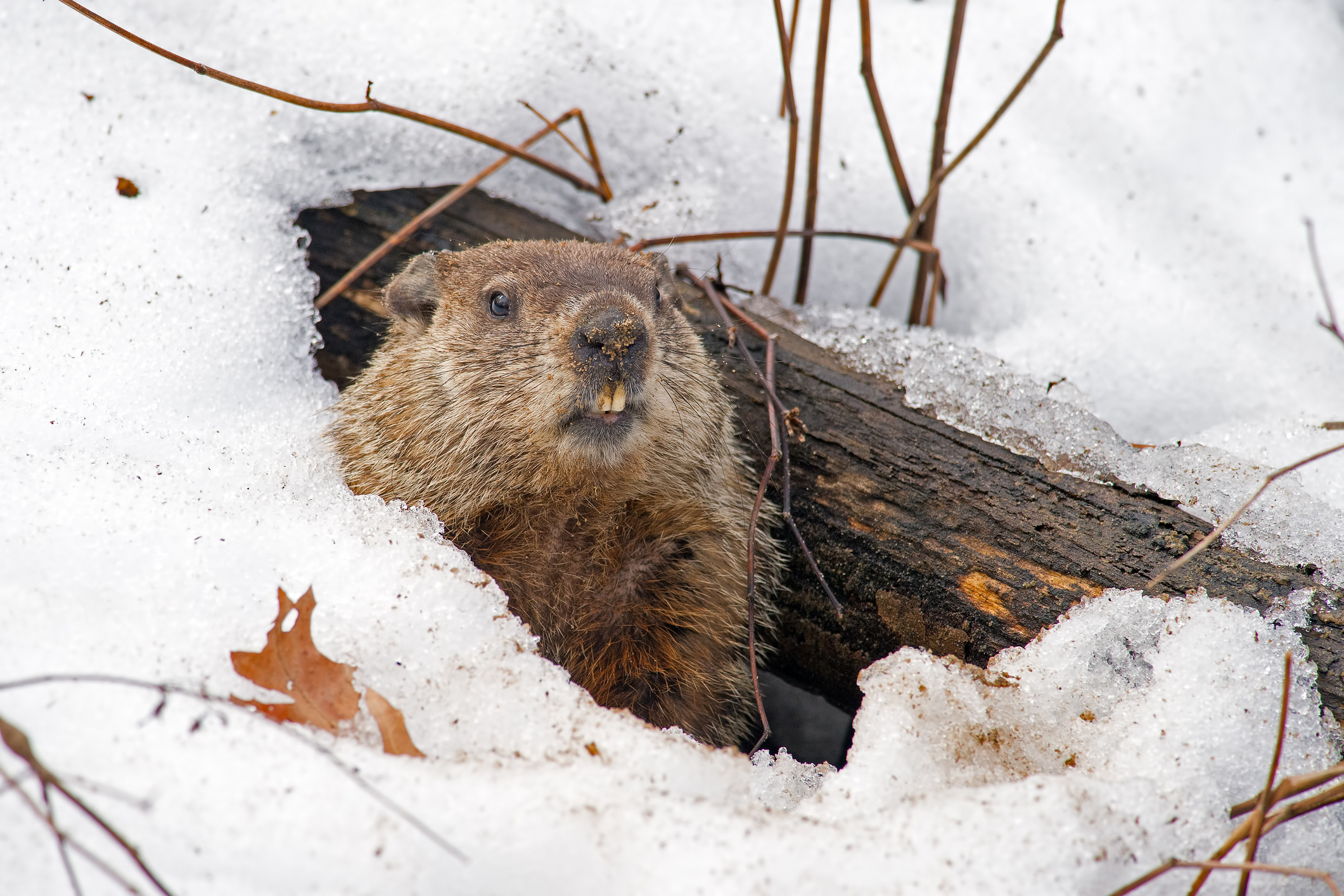 When is Groundhog Day, where does it happen, and how to people celebrate it?
