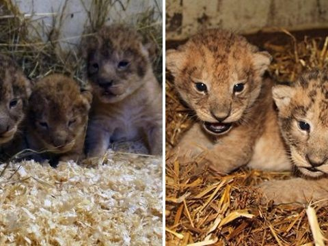 Zoo 'kills nine healthy lion cubs because they didn't fit in'