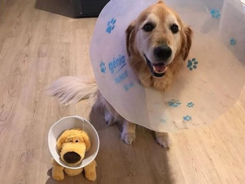 Sick dog gets toy wearing a cone of shame so he doesn't feel embarrassed