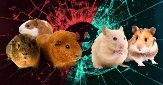 Guys, it's a guinea pig not a hamster in Black Mirror's