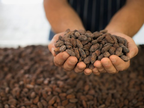 Chocolate could run out within 30 years because of climate change