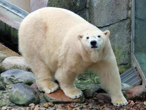 First polar bear to be born in UK in 25 years