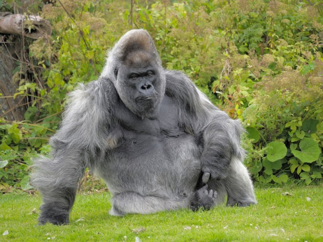 Nico, one of the world's oldest gorillas, has died at Longleat Safari Park