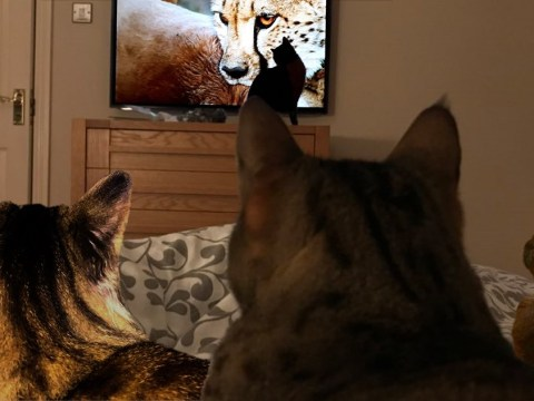 'She can't tear herself away from the TV screen!': Little cats watching Big Cats is the most adorable thing ever
