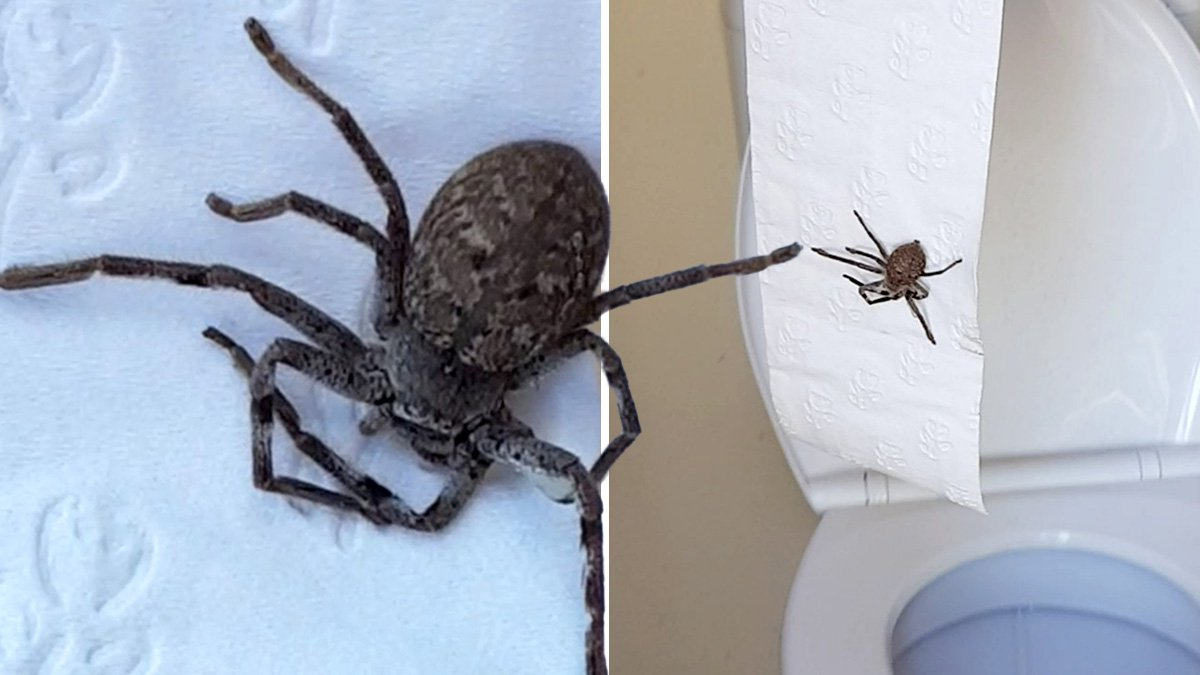 Massive spider found lurking behind roll of toilet paper