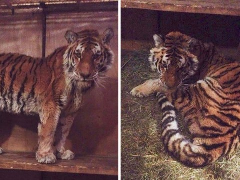 Tiger that waited at man's door desperate for human help has died