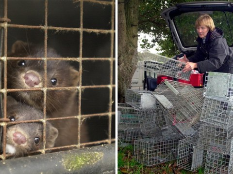 Police covered up undercover officer's role in releasing 6,000 mink from farm