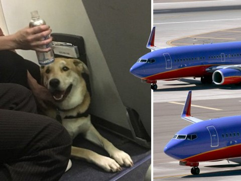 Emotional support dog 'bites child on plane'