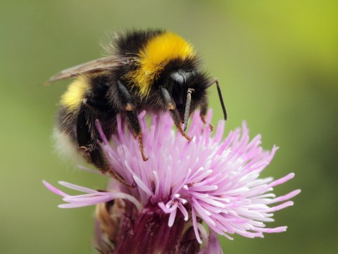 Bumblebees get a nicotine-like buzz from pesticides and can become addicted