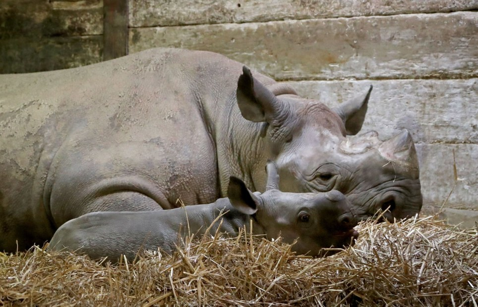 Adorable baby black rhino becomes 40th born at Kent wildlife