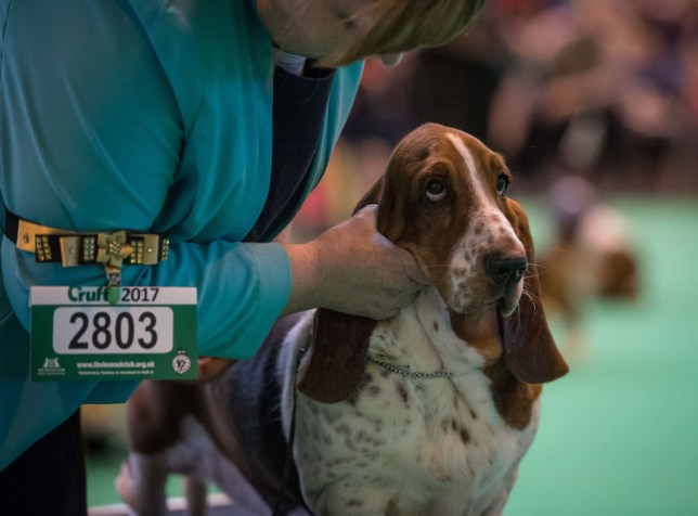 A Bassett Hound being judged at Crufts