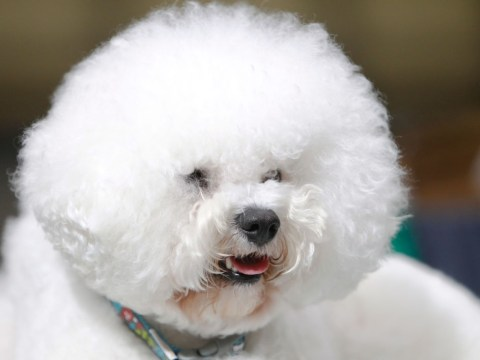 When is Crufts Best in Show announced?