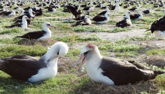 Packs of mice eat live albatrosses who refuse to leave their