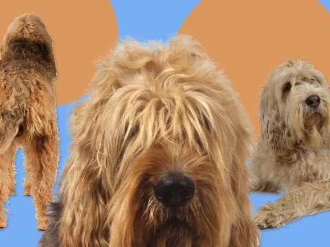 Take a good hard look at this dog breed because it's going extinct