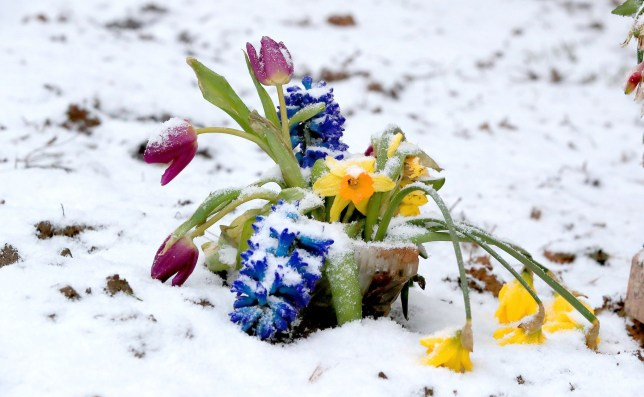 "File photo dated 27/02/18 of flowers in the snow near Liverpool, as sightings from the public show that spring was making an early appearance before the freezing weather of the ""beast from the east"" swept across the UK. PRESS ASSOCIATION Photo. Issue date: Thursday March 1, 2018. The Woodland Trust's Nature's Calendar scheme, which asks the public to track the signs of the seasons, had received more than 350 ""unusual"" early records before meteorological spring officially starts on March 1. See PA story ENVIRONMENT Spring. Photo credit should read: Peter Byrne/PA Wire"