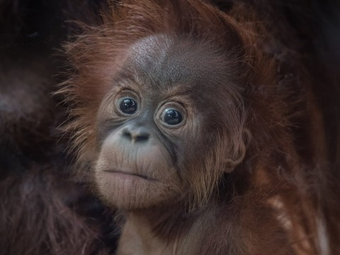 First picture of adorable baby orangutan born at Chester Zoo