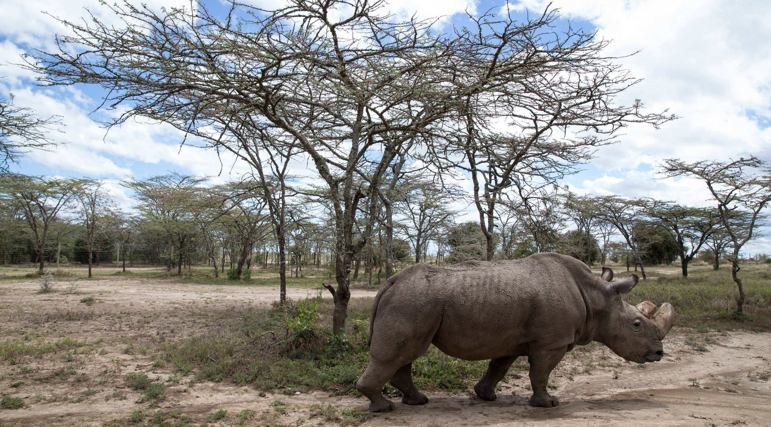 FILE PHOTO: Sudan, the last surviving male northern white rhino, grazes at the Ol Pejeta Conservancy in Laikipia National Park, Kenya May 3, 2017. REUTERS/Baz Ratner/File Photo