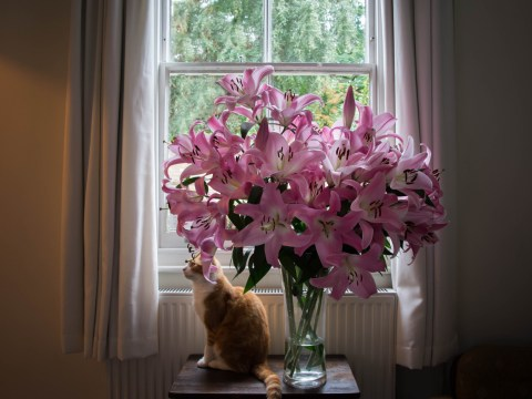 Don't buy lilies for Mother's Day, it's poisonous for your cats
