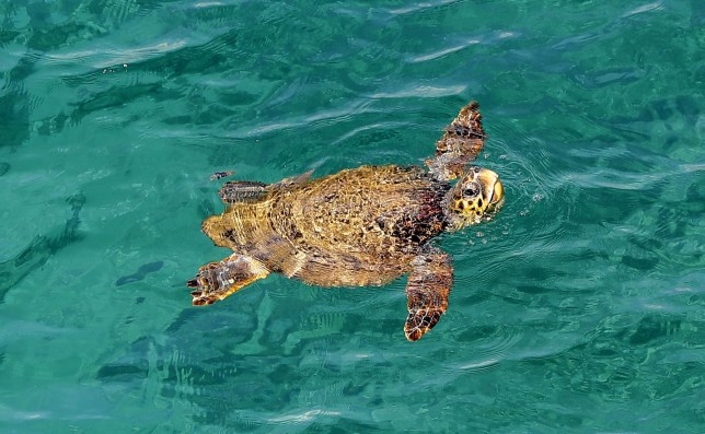 TOPSHOT - A picture taken on February 24, 2018 shows a sea turtle swimming in the water off the shore of the Lebanese town of Naqoura, south of the capital Beirut. / AFP PHOTO / JOSEPH EID (Photo credit should read JOSEPH EID/AFP/Getty Images)
