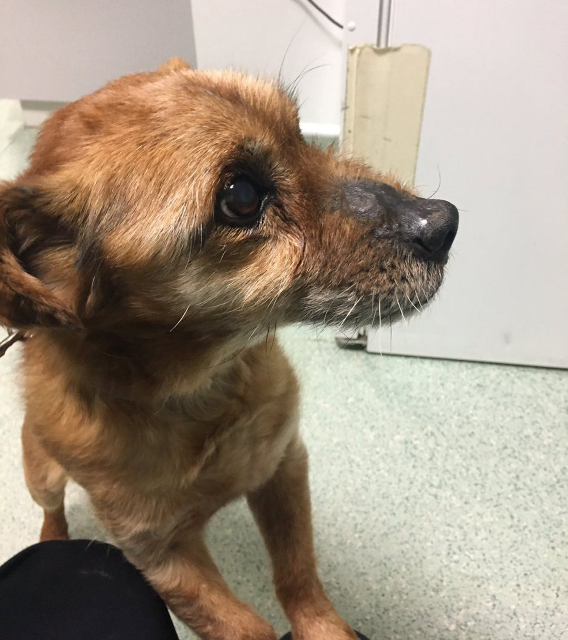 INS News Agency Ltd. 18/03/2018 *************** Picture by INS Picture Desk *************** A dog aged 92 in dog years was left abandoned out in the snow, before the RSPCA rescued him and he was today/yesterday (Sun) being offered a for a new home. Animal charity RSPCA received a huge number of calls when The Beast From the East hit, but this little terrier required immediate saving due to his short coat and tiny stature. Stormy the 19-year-old terrier was found collapsed in temperatures of -3 degrees celsius during the hellish storm blown over from Siberia that struck the whole of the UK. See copy INStormy