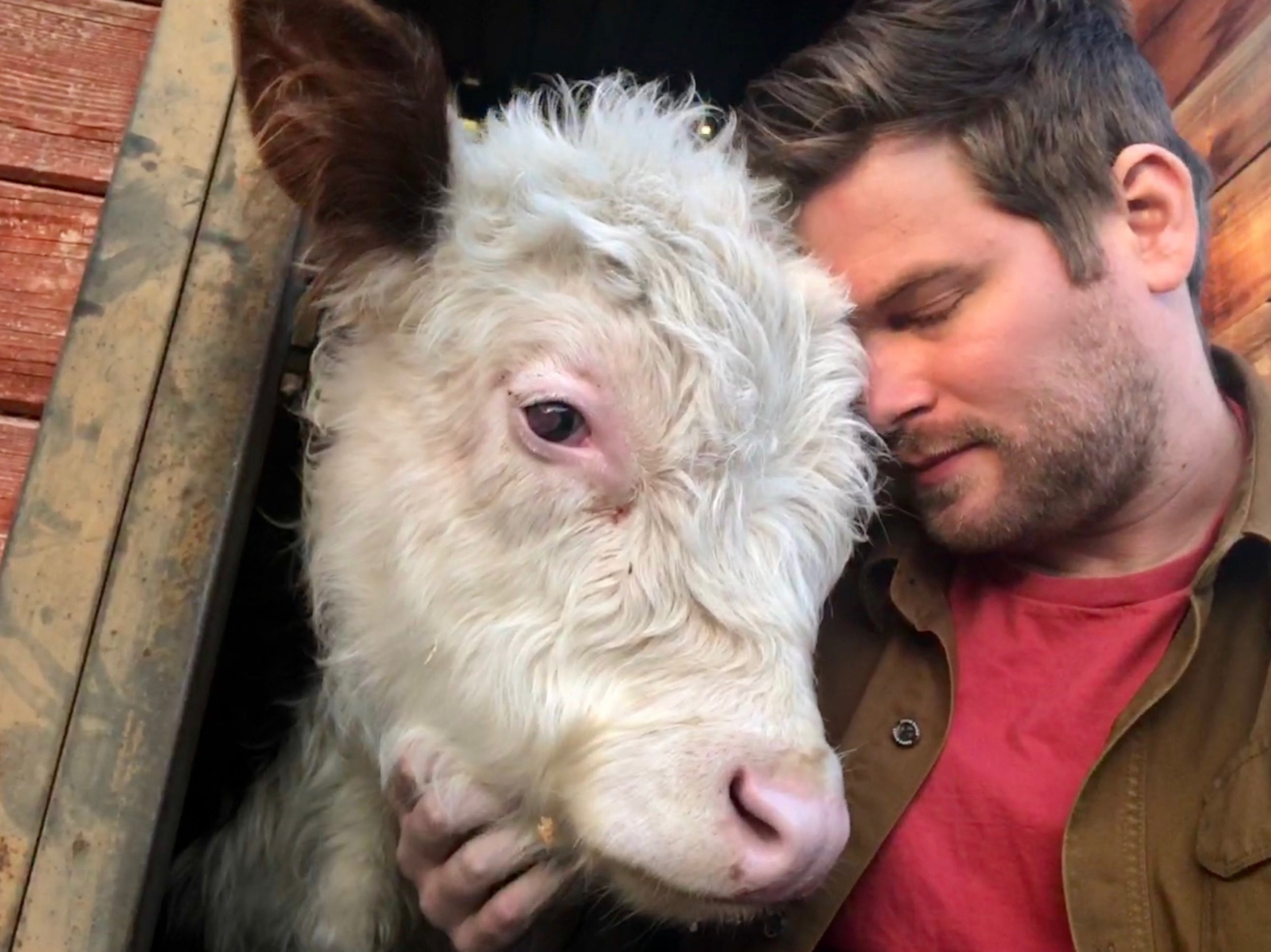 Mike the cow pictured with owner Dan who drove him more than 2,000 miles across the US in an emergency road trip to try and save his sight. See SWNS story NYCOW; A man drove his pet cow more than 2,000 miles across the US in an emergency road trip to try and save his sight. Dan McKernan, 28, rescued Hereford calf Mike, six months, from a nearby farm in November 2017, but quickly noticed that there was something not right with his eyes. Keen to give the young calf the best chance at life, Mike took him to veterinary medics in Michigan State University who determined that he was blind in one eye and needed surgery on the other to treat a detached retina. Dan began to research veterinary ophthalmologists and discovered Dr Allison Hoffman, a miracle worker who has saved the sight of hundreds of animals. The only problem was that her Californian surgery was more than 2000 miles away from Dan???s home in Chelsea, Michigan. But, the former tech worker, who now runs Barn Animal Sanctuary, did not let this stop him and decided to load up his van and drive his farm pal cross-country to Pasadena. Although the surgery was sadly unsuccessful, Dan said the road trip was a wonderful experience for the pals, who visited Malibu and took photos at Mt Rushmore on the way home.