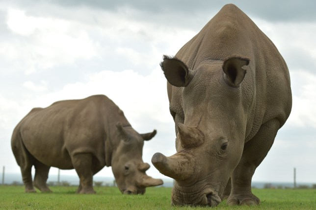Najin (L) and Fatu, the only two remaining female northern white rhinos graze in their paddock on March 20, 2018 at the ol-Pejeta conservancy in Nanyuki, north of capital Nairobi. Sudan, the last male northern white rhino, has died in Kenya at the age of 45, after becoming a symbol of efforts to save his subspecies from extinction, a fate that only science can now prevent. / AFP PHOTO / TONY KARUMBA (Photo credit should read TONY KARUMBA/AFP/Getty Images)
