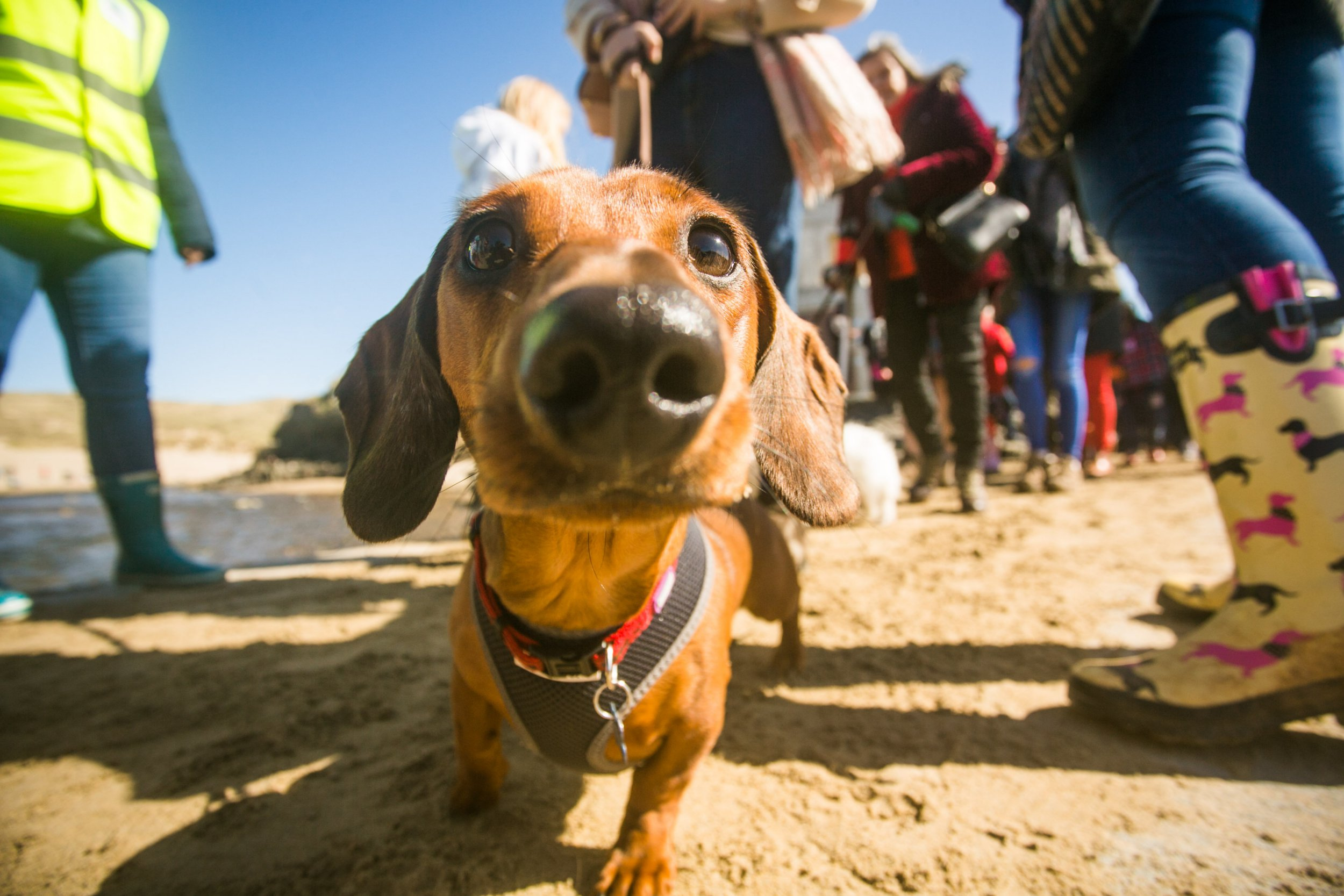 Dog owners have achieved a world record for biggest Daschund gathering at the Perranporth Beach in Cornwall. 25/03/2018 See story SWSAUSAGE