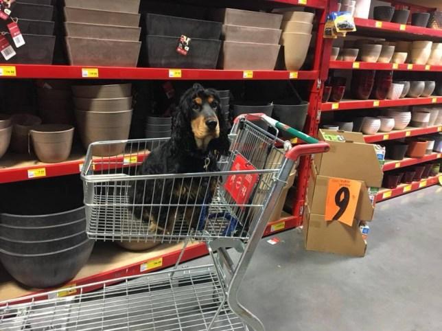 A dog in a Bunnings shopping trolley