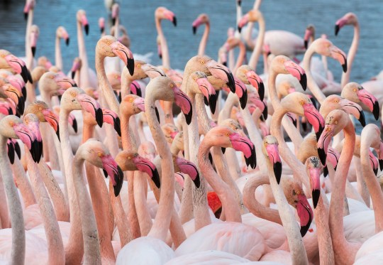 Lesser flamingos display a 'flush of colour' when they are ready to breed (Credits: Getty Images/Biosphoto)