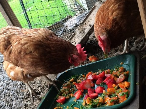 You don't have to be posh to keep hens – and it can be good for your mental health