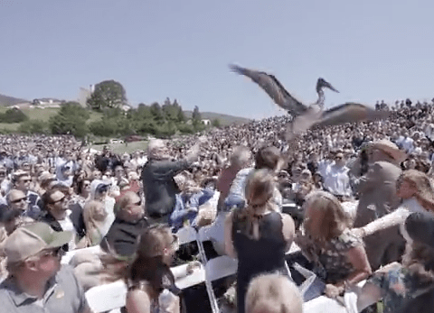 Two pelicans crash graduation ceremony in California