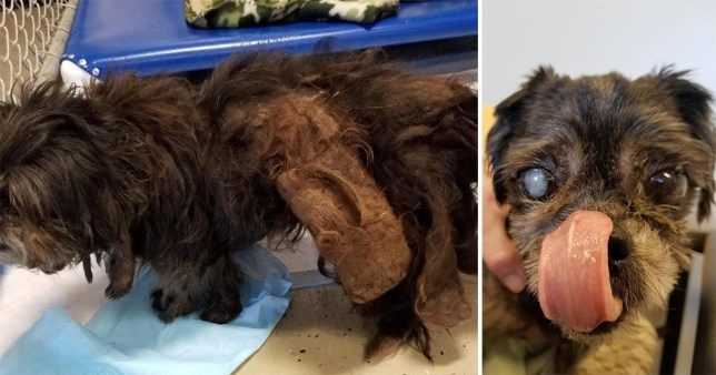 "DREADLOCK DOG - Pooch with one eye that was ""one big mat"" when it arrived at shelter undergoes incredible transformation"