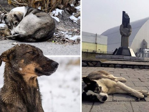 Dogs roam free in Chernobyl 32 years after nuclear reactor exploded