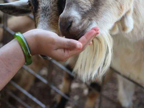 Men killed goat at petting zoo 'because they were hungry'