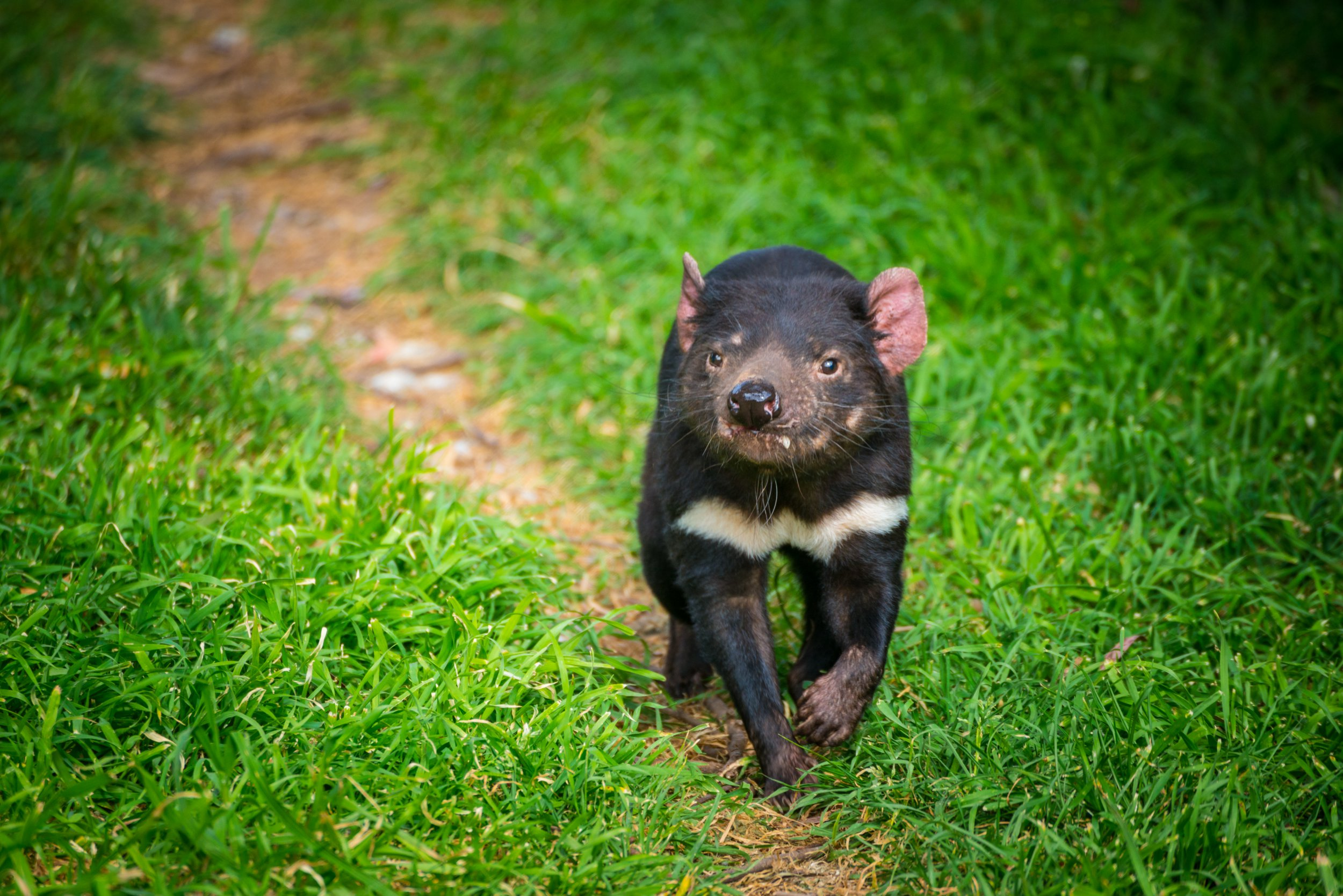 The Tasmanian devil (Sarcophilus harrisii) is a carnivorous marsupial of the family Dasyuridae, now found in the wild only on the Australian island state of Tasmania.