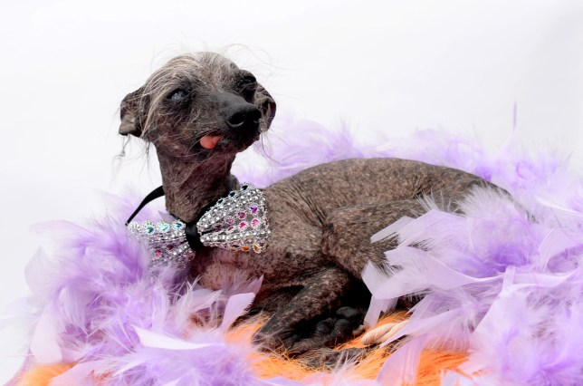 Britain's ugliest dog has swapped chasing cats for strolling the catwalk - by landing a modelling contract. Chase is 14 years old, has a cataract in one eye, is toothless, a crab-like walk and is balding apart from a few grey spikes. But the Chinese Crested dog - named the third ugliest dog in the world thanks to his unique looks - is now a posing pooch after being headhunted by a model agency. Pictured here is Chase in his modelling portfolio pictures. ?? WALES NEWS SERVICE