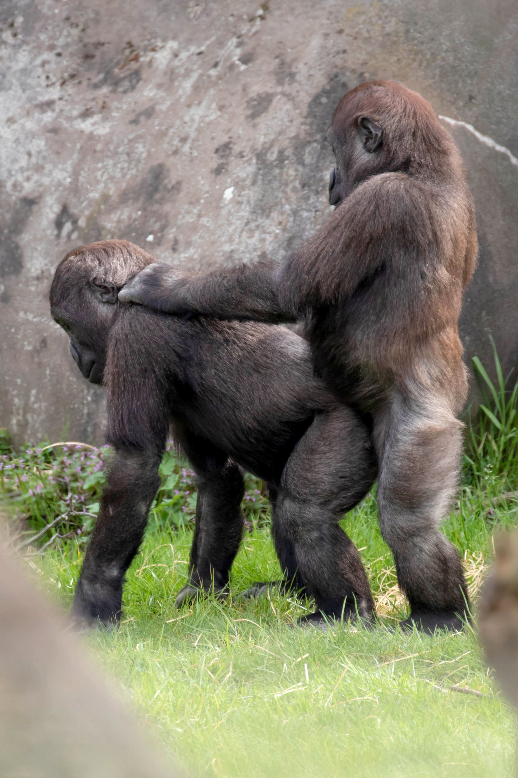 ***MANDATORY BYLINE***PIC FROM Shirley Kroos / Caters News - (PICTURED: Western Lowland Gorillas Aybo, 3.5 years old and Thabo, 3 years old, playing and experimenting with each other at Rotterdam Zoo. PIC TAKEN ON 10/04/18) - A pair of mischievous gorillas were caught sharing a sexual embrace by an unexpected photographer. Shirley Kroos, 30, was visiting Rotterdam Zoo in the Netherlands when she caught a pair of young gorillas up to no good. The male gorillas who were caught in the act are Aybo, three-and-a-half, and Thabo, three, and are residents at the zoo.SEE CATERS COPY