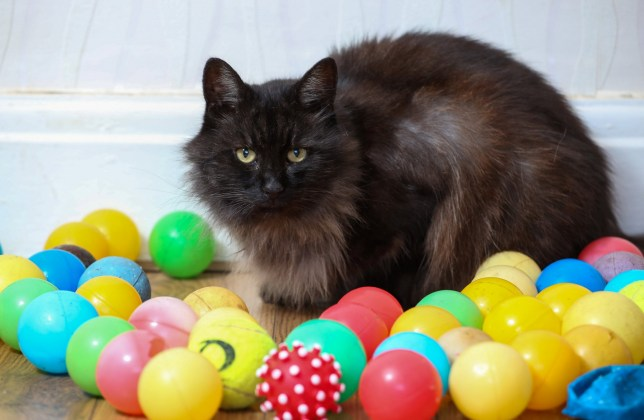 Katie Brown's cat Tigger who had been stealing ball pit balls. Tigger has collected an impressive 52 balls but Katie has no idea where they are coming from. See SWNS story SWCAT: A cat owner has been left baffled by the recent activity of her fiendish feline - after the cat has brought home 52 children's BALL PIT balls in the last three weeks. Katie Brown, 25, said that at first she thought nothing of her cat Tigger's odd behaviour, assuming that the ball collection was just toys bought by family members for her family's four cats. But over the last three weeks, Tigger has brought a whopping 52 ball pit balls and small bouncy balls into the family home - even bringing home seven or eight balls in just three hours one afternoon.