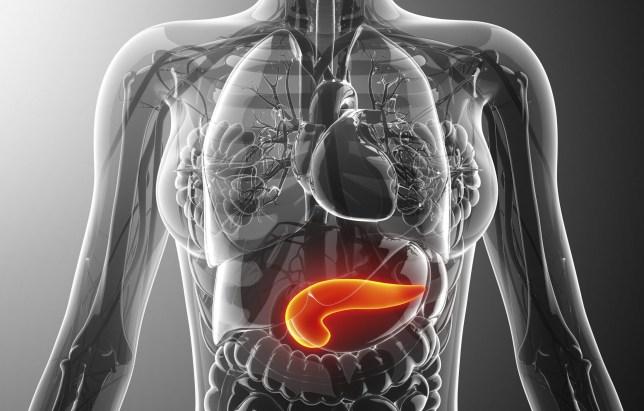 Human pancreas, computer artwork.