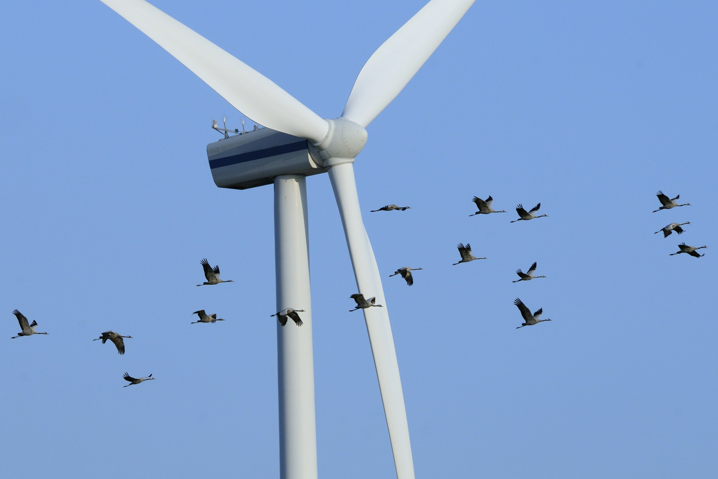 Half as many birds are being killed by wind turbines as previously thought