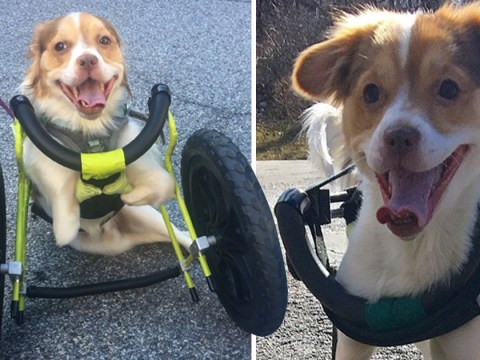 Dog with no front legs finally gets to run around thanks to his new wheelchair