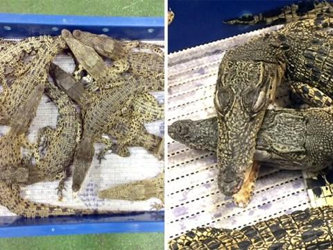 Someone smuggled 50 crocodiles on a UK-bound flight